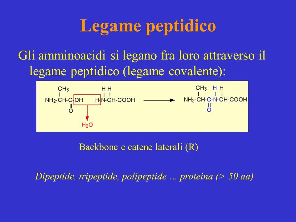 Legame peptidico Gli amminoacidi si legano fra loro attraverso il legame peptidico (legame covalente): Dipeptide, tripeptide, polipeptide … proteina (