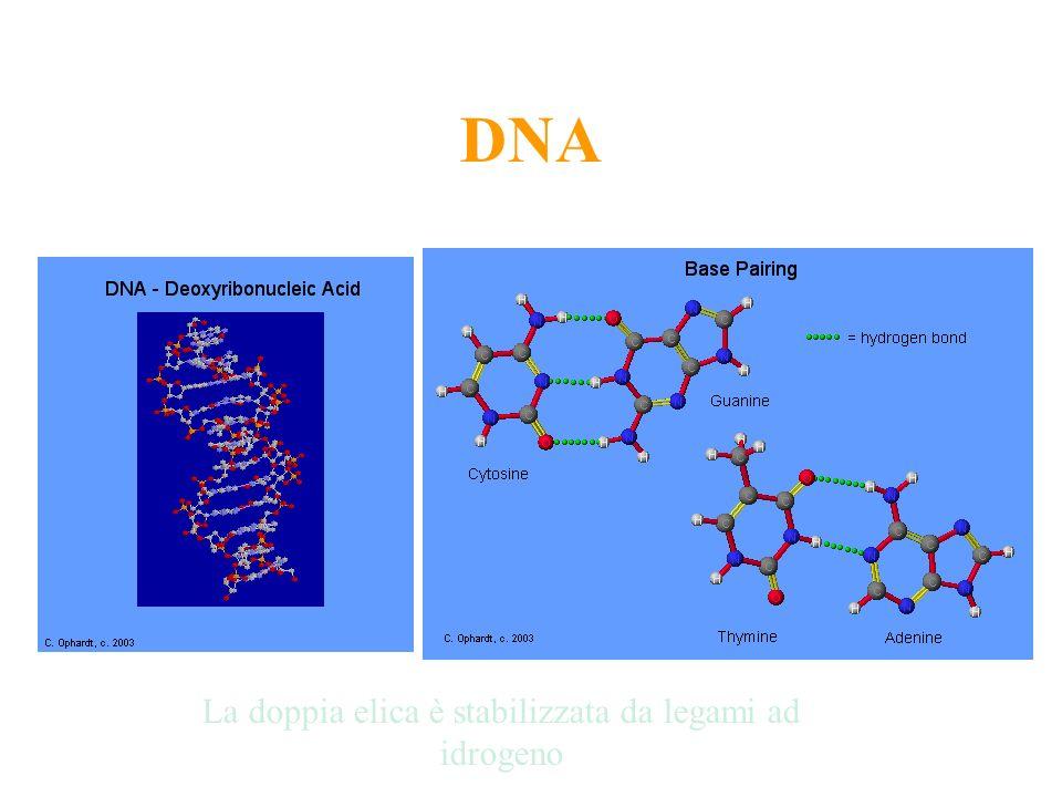 DNA La doppia elica è stabilizzata da legami ad idrogeno