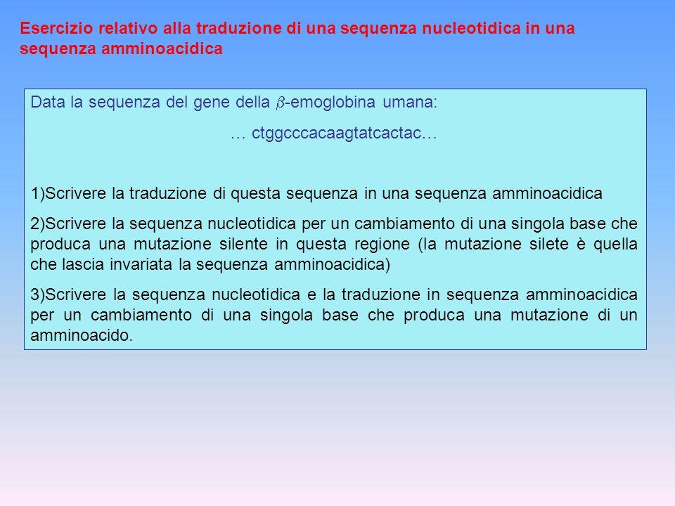 Esercizio relativo alla traduzione di una sequenza nucleotidica in una sequenza amminoacidica Data la sequenza del gene della -emoglobina umana: … ctg