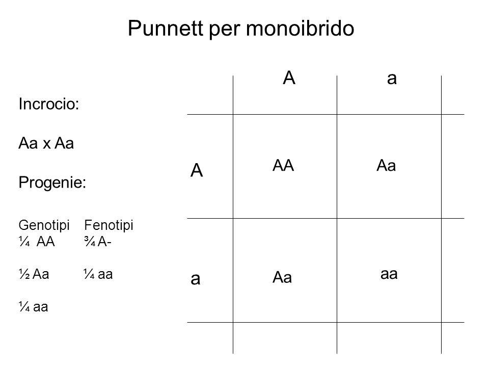 ½ S ½ s ½ S ½ s ½ S Ss x Ss Incrocio: Un genitore Laltro genitore Genotipo progenie ¼ SS ¼ Ss ¼ ss ½ SS ¾ S- ¼ ss Fenotipo progenie Schema ramificato per monoibrido