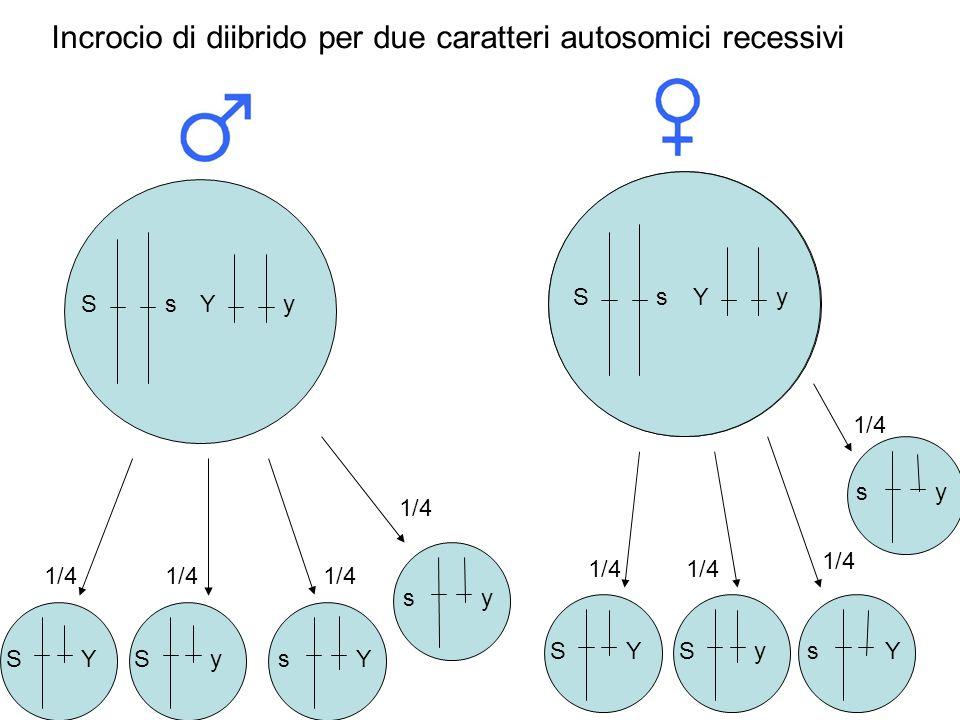 Ss Ss 1/4 Incrocio di diibrido per due caratteri autosomici recessivi Yy Ss Y S 1/4 y s Y y Ss Y S y s Y y Yy