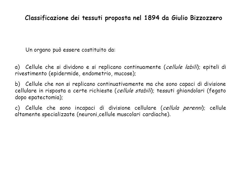Classificazione dei tessuti proposta nel 1894 da Giulio Bizzozzero Un organo può essere costituito da: a)Cellule che si dividono e si replicano contin