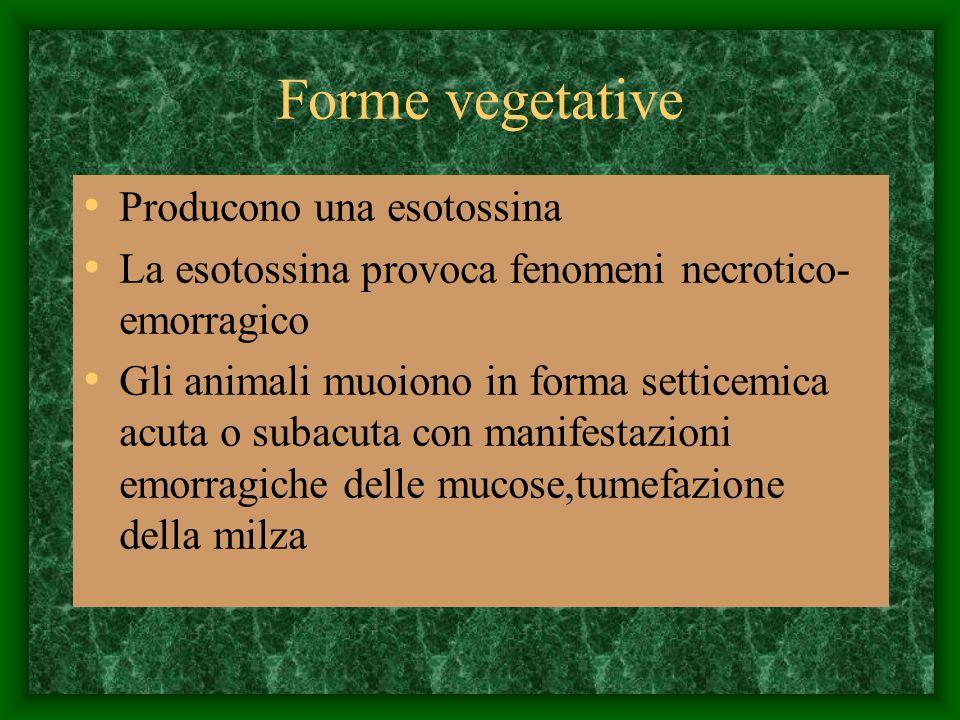 Forme vegetative Producono una esotossina La esotossina provoca fenomeni necrotico- emorragico Gli animali muoiono in forma setticemica acuta o subacu