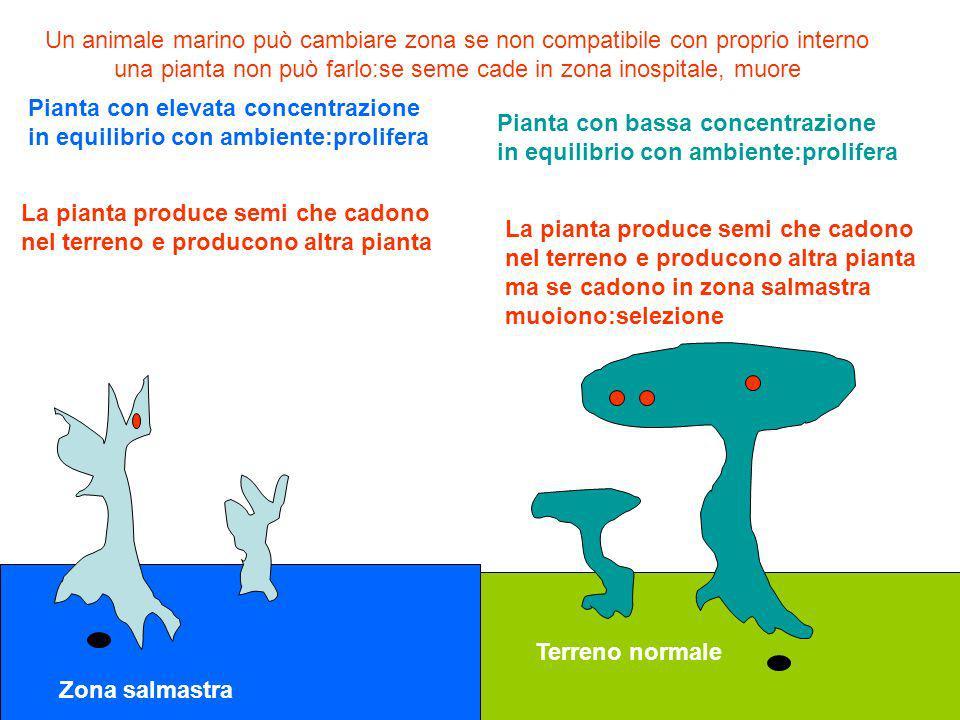 Zona salmastra Terreno normale Pianta con elevata concentrazione in equilibrio con ambiente:prolifera Pianta con bassa concentrazione in equilibrio co