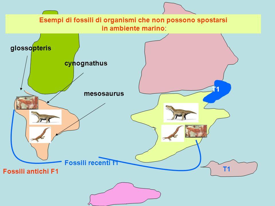T1 Fossili antichi F1 Fossili recenti f1 Esempi di fossili di organismi che non possono spostarsi in ambiente marino: glossopteris cynognathus mesosau