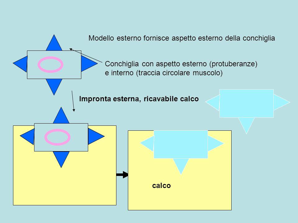 Impronta esterna, ricavabile calco Conchiglia con aspetto esterno (protuberanze) e interno (traccia circolare muscolo) Modello esterno fornisce aspett