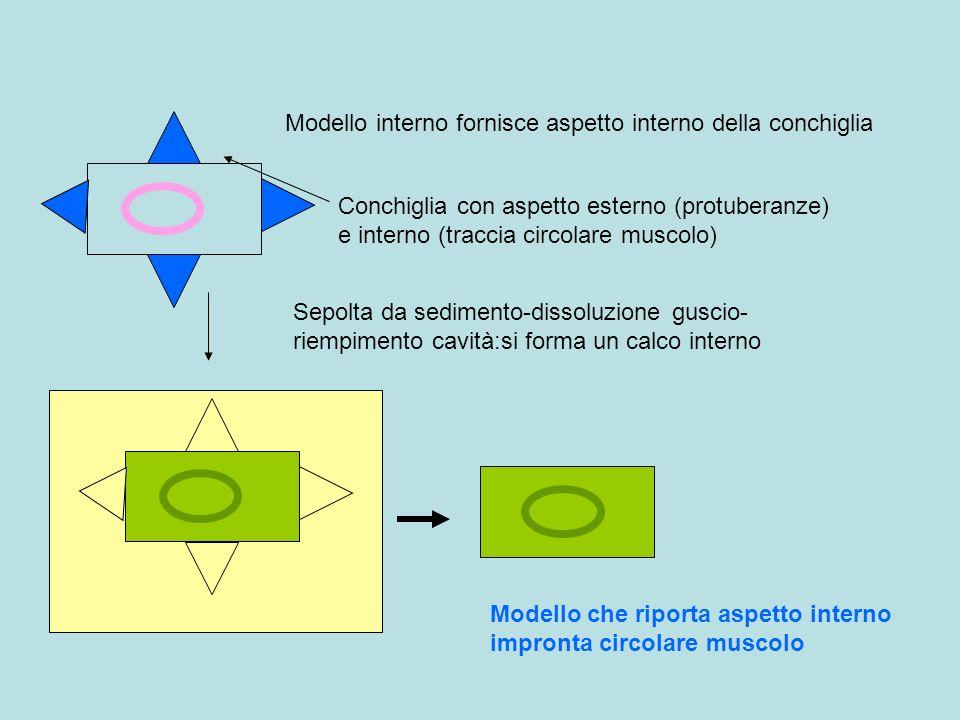 Conchiglia con aspetto esterno (protuberanze) e interno (traccia circolare muscolo) Modello interno fornisce aspetto interno della conchiglia Sepolta