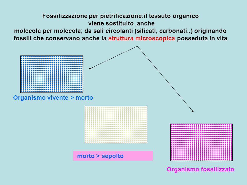 Fossilizzazione per pietrificazione:il tessuto organico viene sostituito,anche molecola per molecola; da sali circolanti (silicati, carbonati..) origi