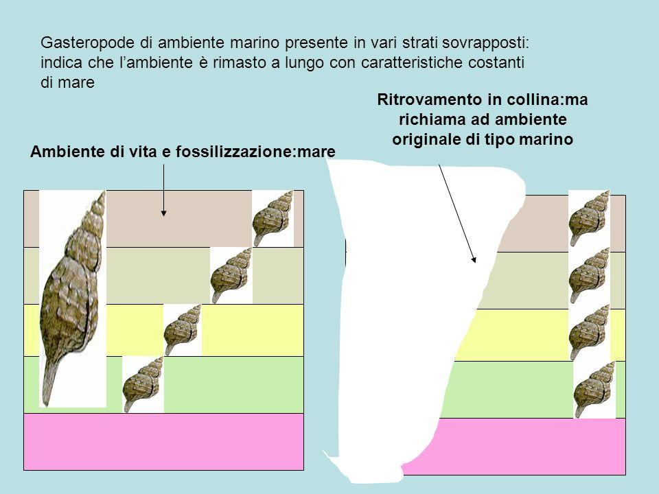 Gasteropode di ambiente marino presente in vari strati sovrapposti: indica che lambiente è rimasto a lungo con caratteristiche costanti di mare Ambien