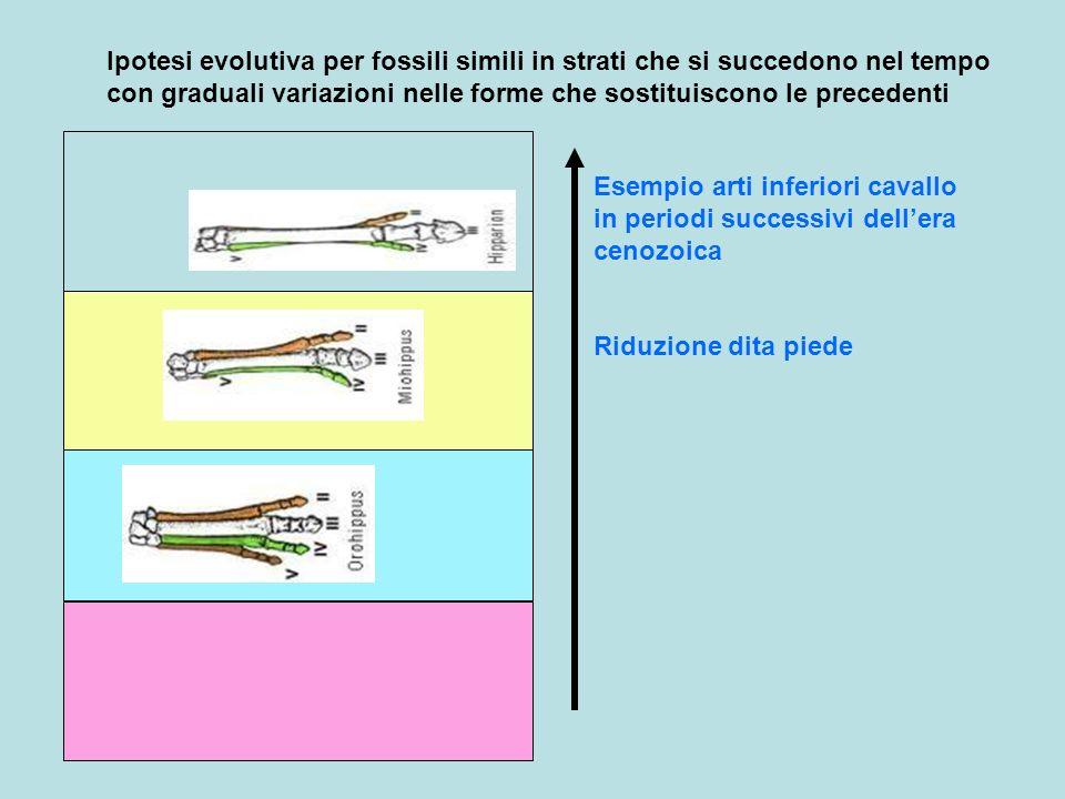Ipotesi evolutiva per fossili simili in strati che si succedono nel tempo con graduali variazioni nelle forme che sostituiscono le precedenti Esempio
