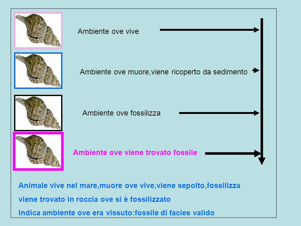 Ambiente ove vive Ambiente ove muore,viene ricoperto da sedimento Ambiente ove fossilizza Ambiente ove viene trovato fossile Animale vive nel mare,muo