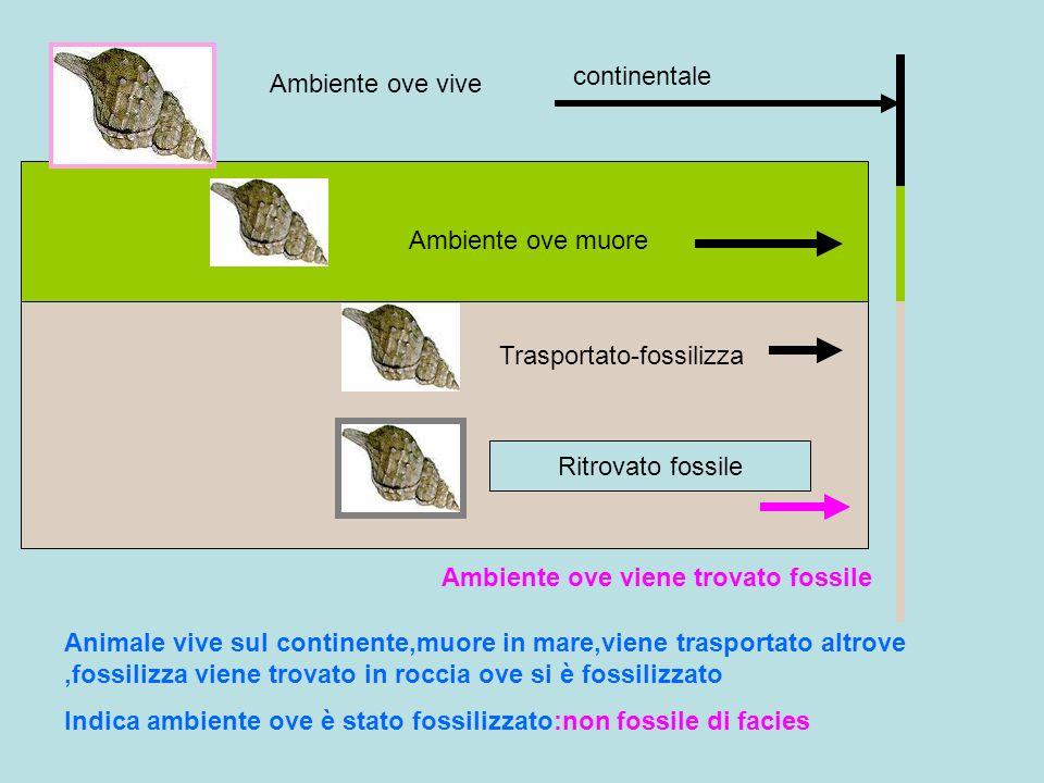 Ambiente ove vive Ambiente ove viene trovato fossile Animale vive sul continente,muore in mare,viene trasportato altrove,fossilizza viene trovato in r