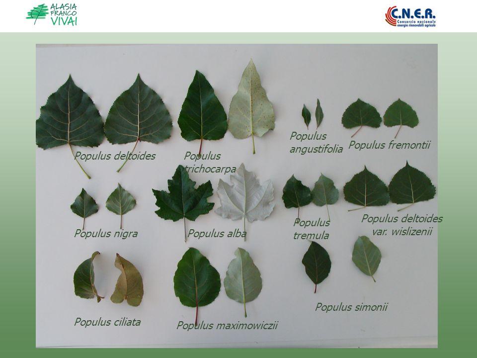 Populus deltoidesPopulus trichocarpa Populus nigra Populus angustifolia Populus deltoides var. wislizenii Populus fremontii Populus alba Populus cilia