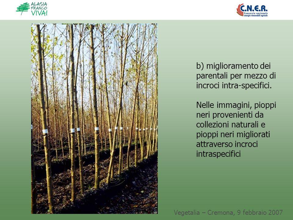 Vegetalia – Cremona, 9 febbraio 2007 b) miglioramento dei parentali per mezzo di incroci intra-specifici. Nelle immagini, pioppi neri provenienti da c