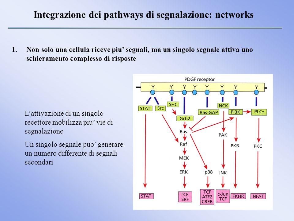 Integrazione dei pathways di segnalazione: networks 2.Le vie di segnalazione sono interconnesse da sistemi interni, cioe molecole che agiscono su componenti di piu vie, legando queste stesse vie tra loro 3.Lintegrazione delle vie di segnalazione puo avvenire a livello della membrana plasmatica, della cascata di eventi intracellulari o nel nucleo FGFR Segnali diversi possono confluire su una stessa via Meccanismi di regolazione di Ras differenti