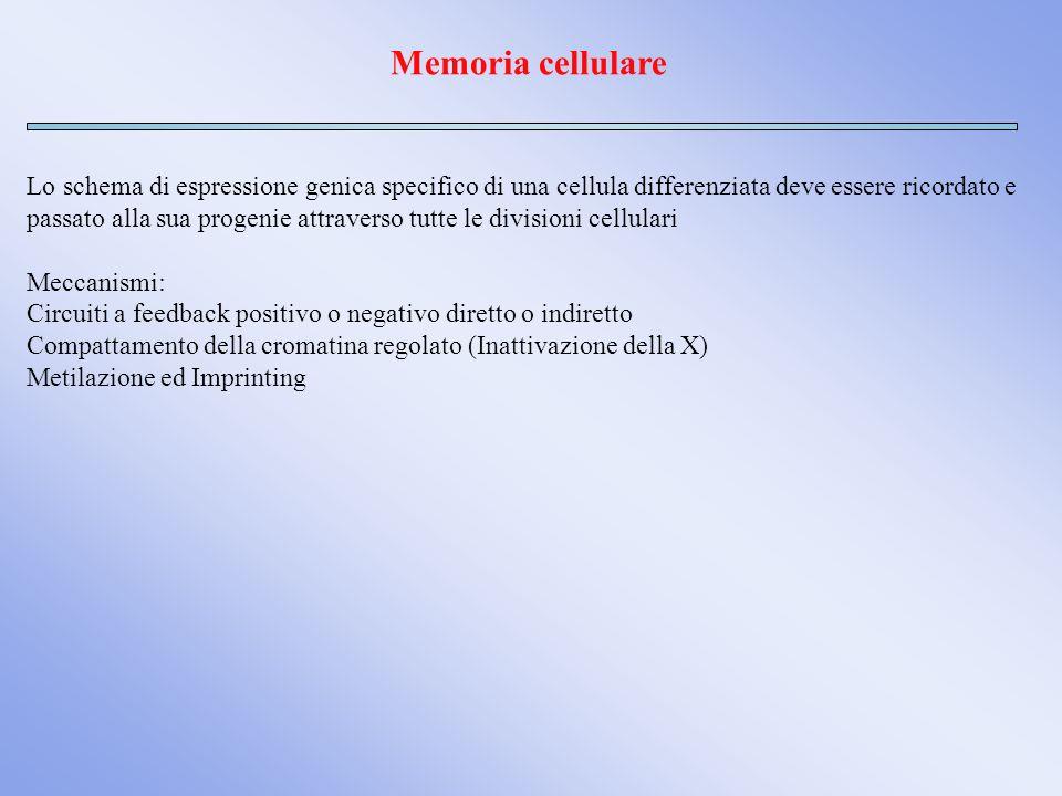 Memoria cellulare Lo schema di espressione genica specifico di una cellula differenziata deve essere ricordato e passato alla sua progenie attraverso
