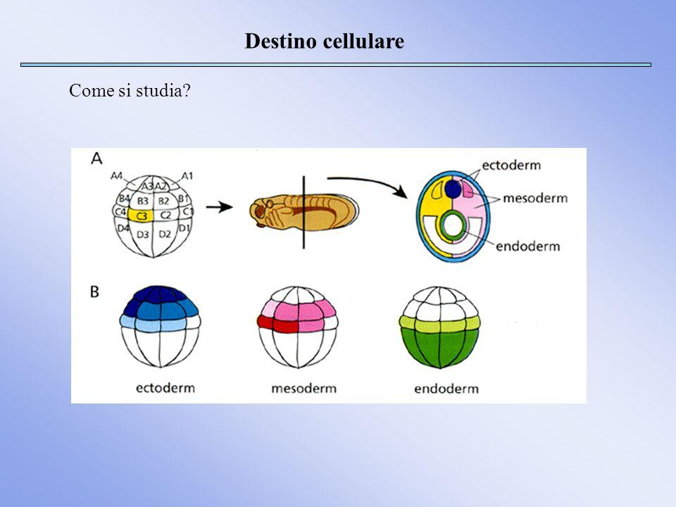 Destino cellulare Come si studia?