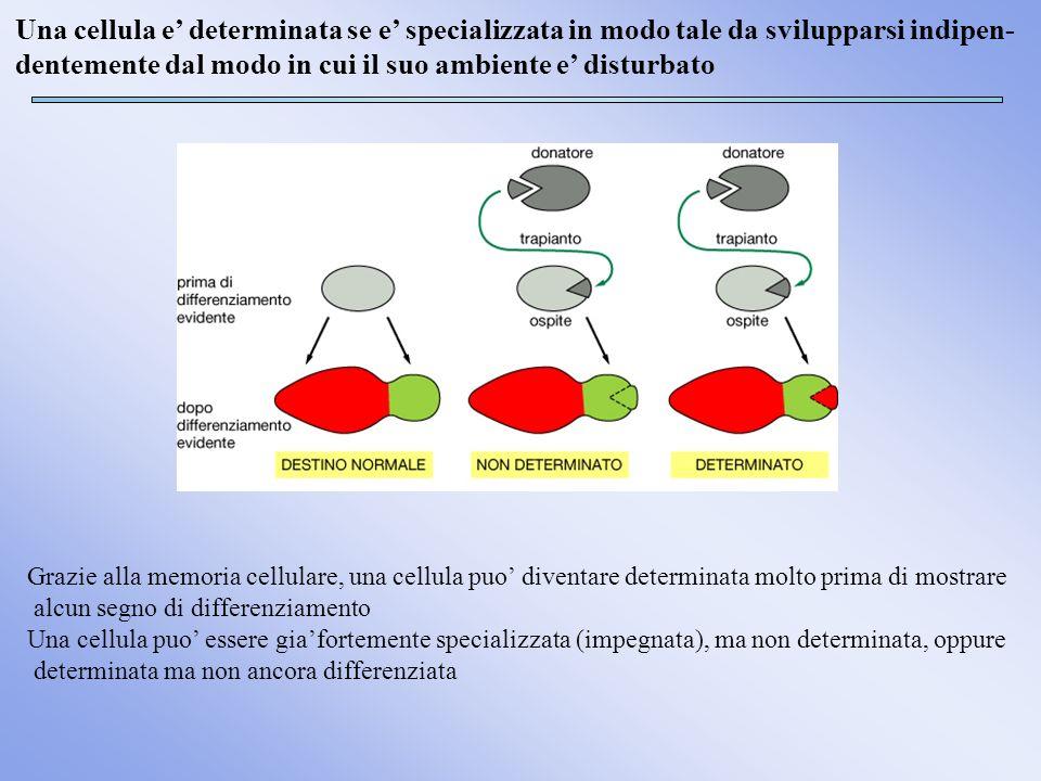 Una cellula e determinata se e specializzata in modo tale da svilupparsi indipen- dentemente dal modo in cui il suo ambiente e disturbato Grazie alla