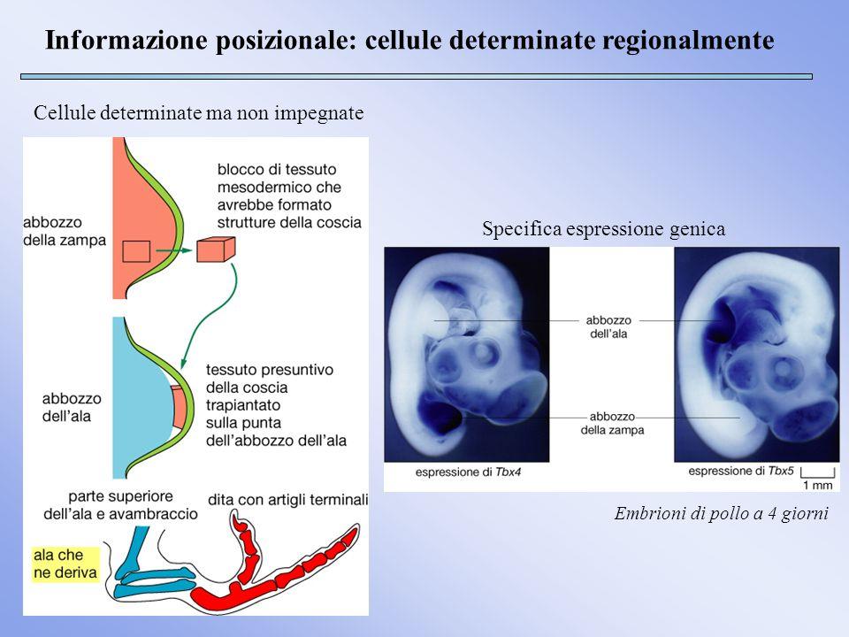 Informazione posizionale: cellule determinate regionalmente Embrioni di pollo a 4 giorni Cellule determinate ma non impegnate Specifica espressione ge