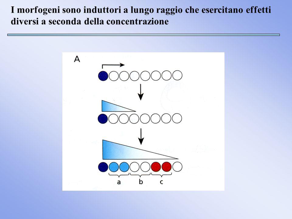 I morfogeni sono induttori a lungo raggio che esercitano effetti diversi a seconda della concentrazione