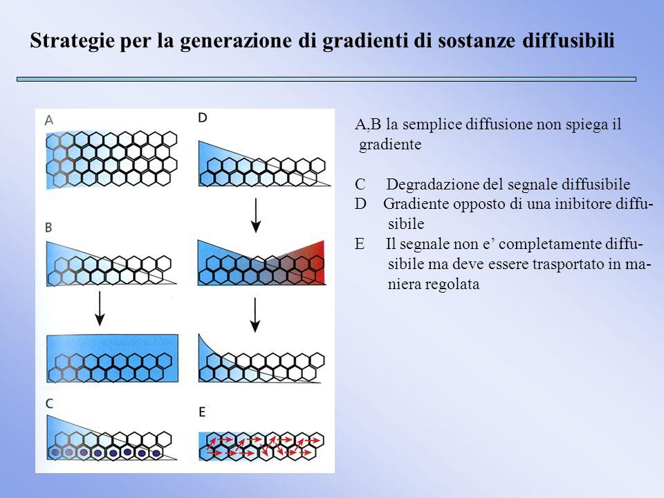 Strategie per la generazione di gradienti di sostanze diffusibili A,B la semplice diffusione non spiega il gradiente C Degradazione del segnale diffus