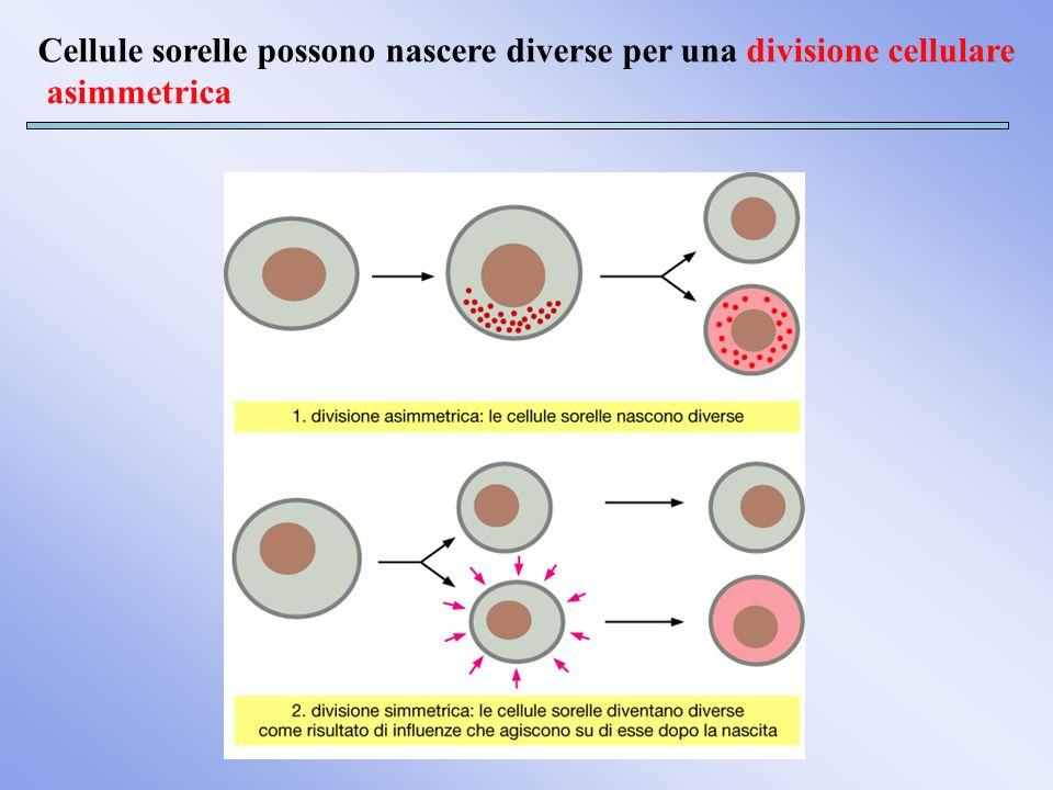 Cellule sorelle possono nascere diverse per una divisione cellulare asimmetrica