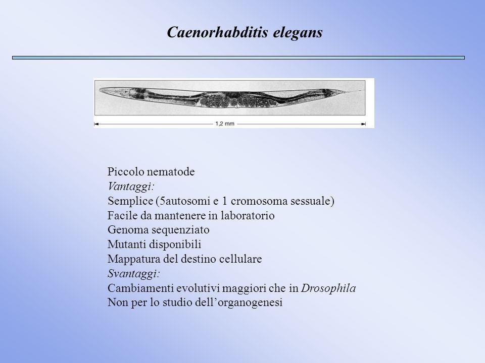 Caenorhabditis elegans Piccolo nematode Vantaggi: Semplice (5autosomi e 1 cromosoma sessuale) Facile da mantenere in laboratorio Genoma sequenziato Mu