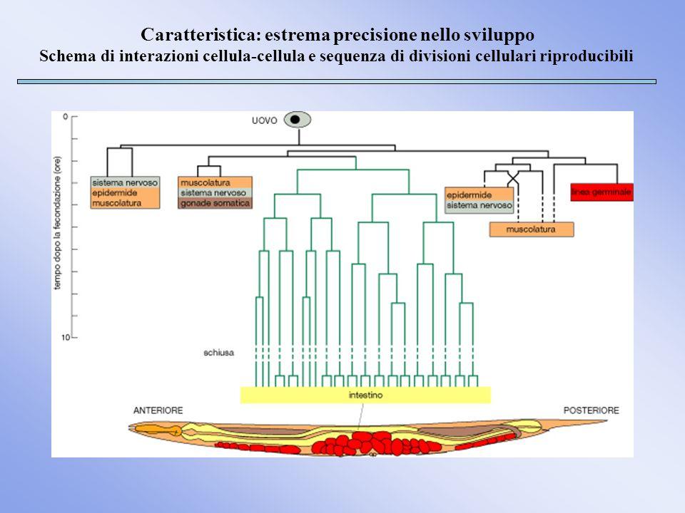 Caratteristica: estrema precisione nello sviluppo Schema di interazioni cellula-cellula e sequenza di divisioni cellulari riproducibili