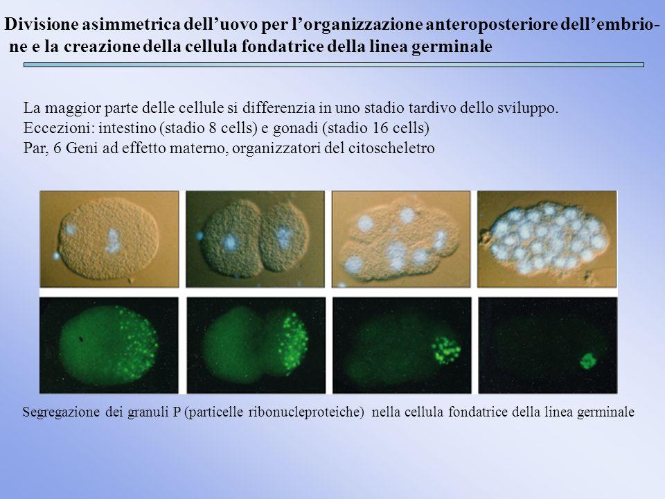 La maggior parte delle cellule si differenzia in uno stadio tardivo dello sviluppo. Eccezioni: intestino (stadio 8 cells) e gonadi (stadio 16 cells) P