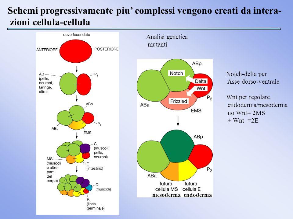 Schemi progressivamente piu complessi vengono creati da intera- zioni cellula-cellula Notch-delta per Asse dorso-ventrale Wnt per regolare endoderma/m