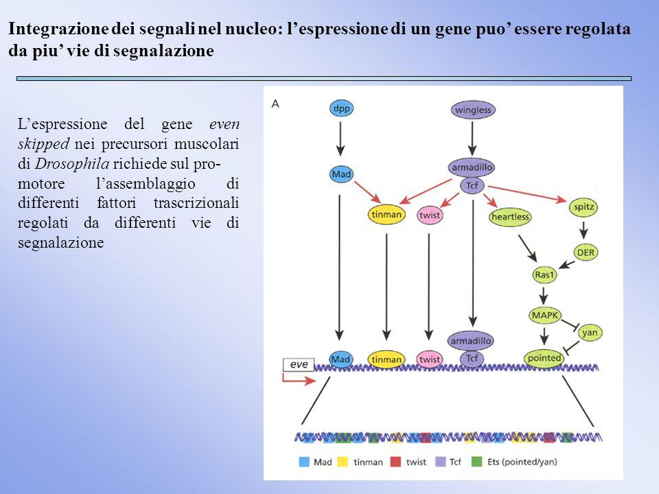 Integrazione dei segnali nel nucleo: lespressione di un gene puo essere regolata da piu vie di segnalazione Il repressore Groucho regola lo scambio tra le vie di segnalazione mediate da EGF e Notch Gro Hasson P.