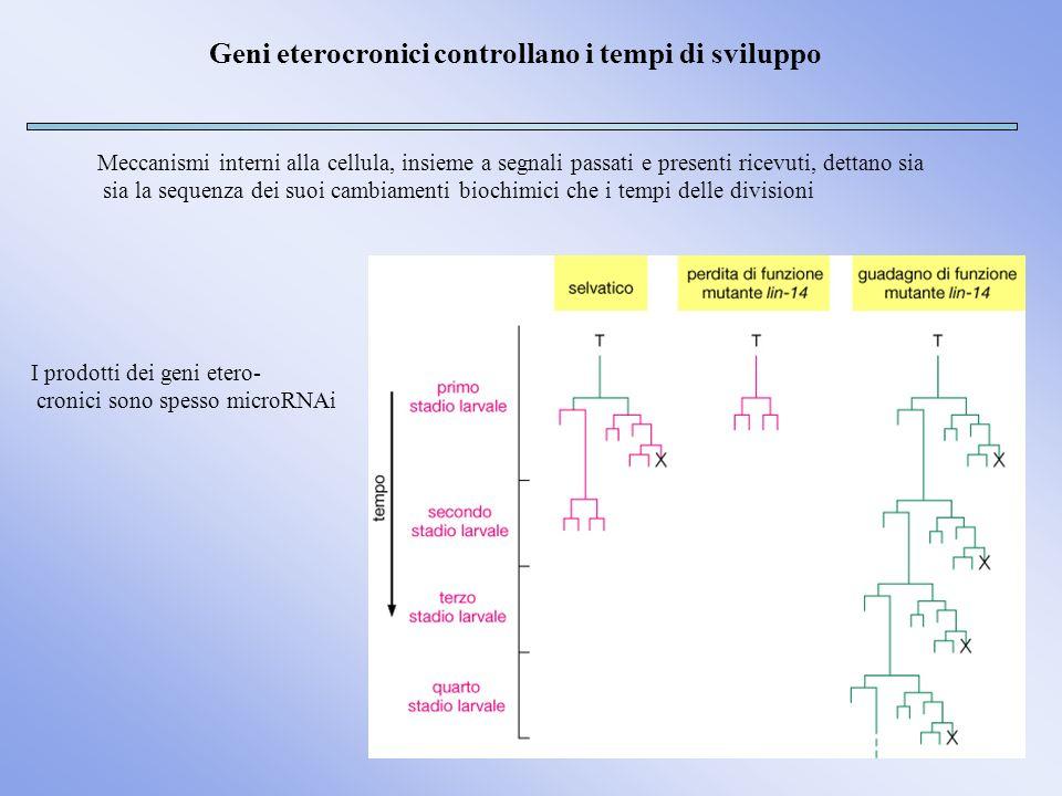 Geni eterocronici controllano i tempi di sviluppo Meccanismi interni alla cellula, insieme a segnali passati e presenti ricevuti, dettano sia sia la s
