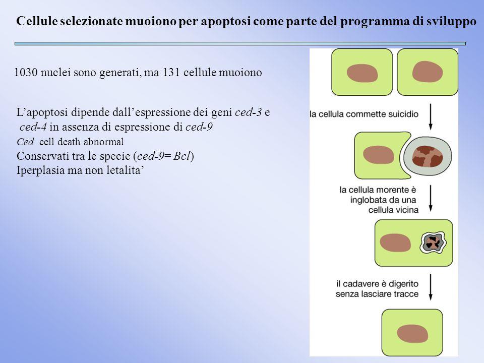 Cellule selezionate muoiono per apoptosi come parte del programma di sviluppo 1030 nuclei sono generati, ma 131 cellule muoiono Lapoptosi dipende dall