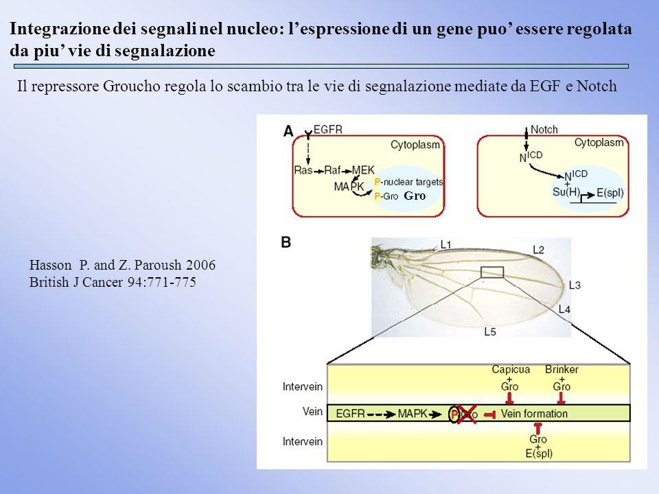 Integrazione dei segnali nel nucleo: lespressione di un gene puo essere regolata da piu vie di segnalazione Il repressore Groucho regola lo scambio tr