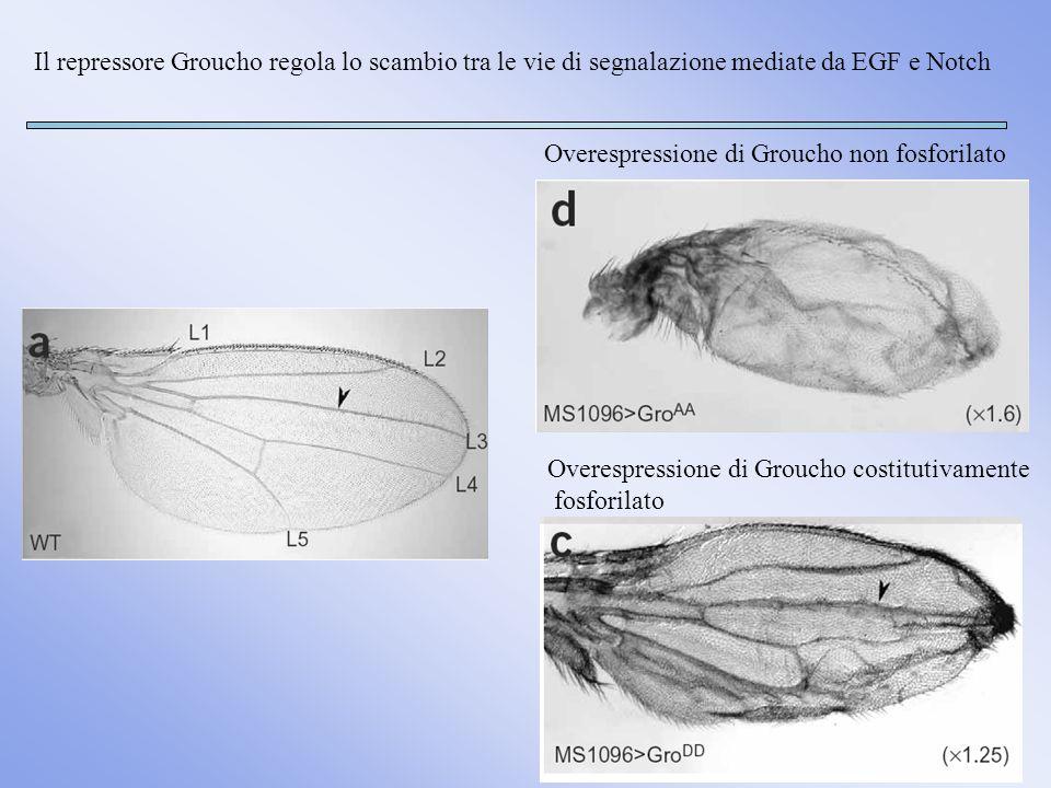 Sviluppo circa 3 giorni: embriogenesi (558 cellule), 4 stadi larvali e mute Durata vita 3 settimane Sviluppo