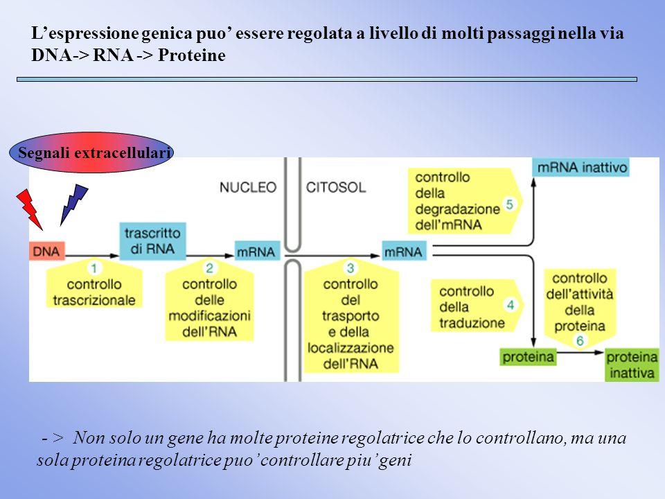 Lespressione genica puo essere regolata a livello di molti passaggi nella via DNA-> RNA -> Proteine Segnali extracellulari - > Non solo un gene ha mol