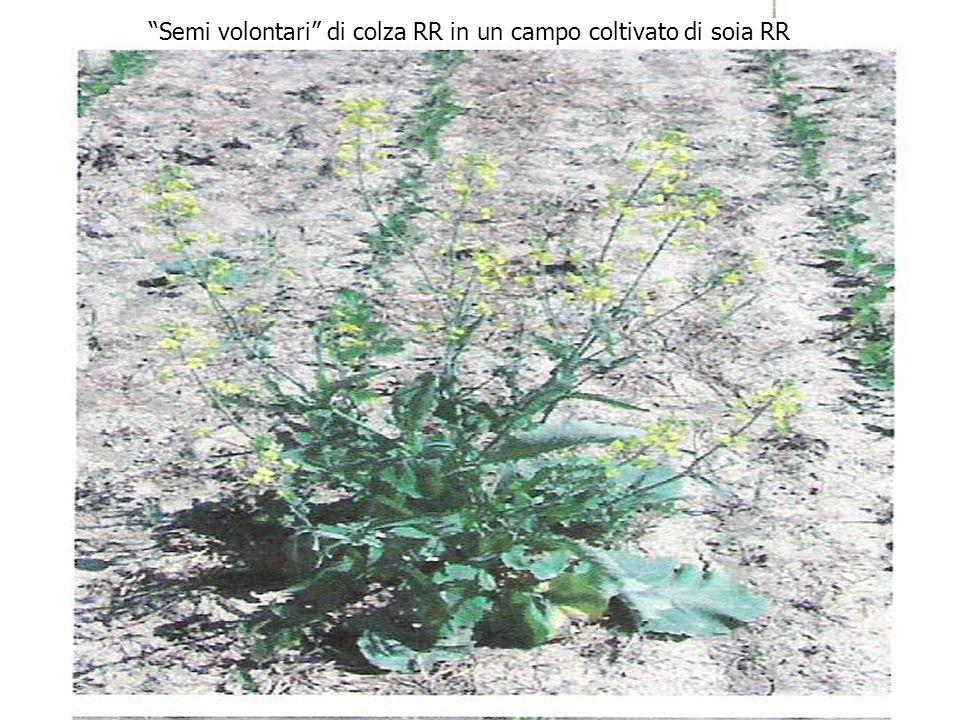 34 Semi volontari di colza RR in un campo coltivato di soia RR