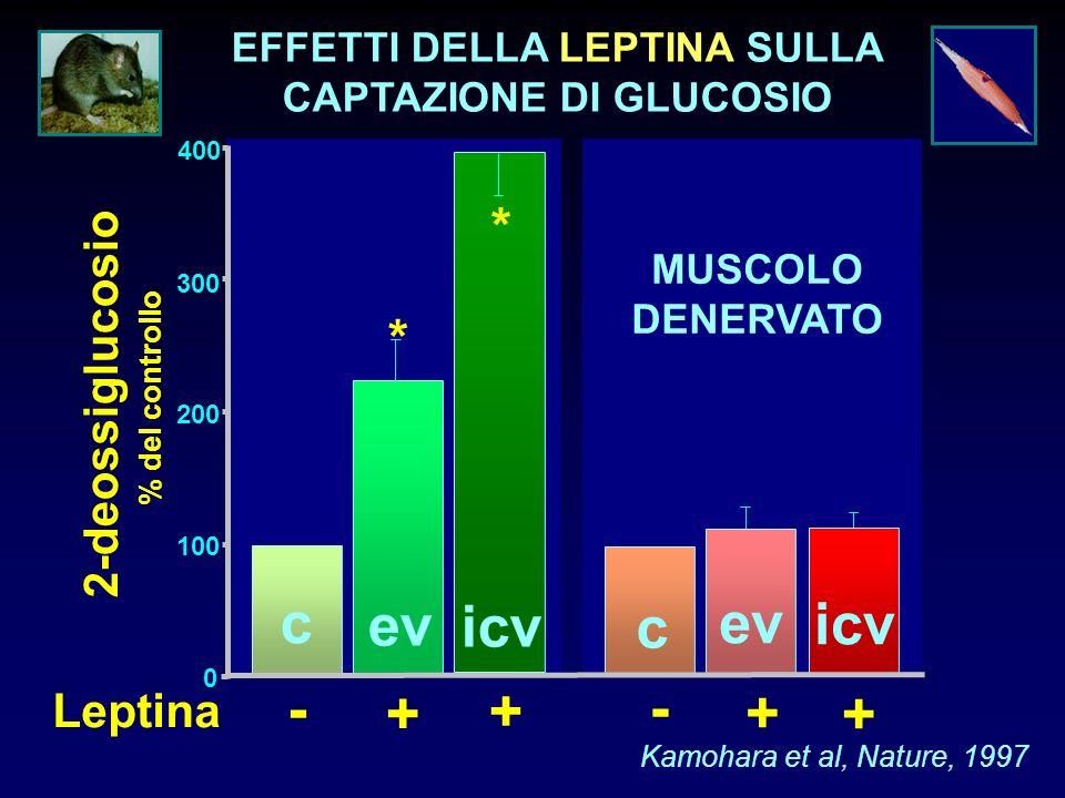 ev icv c + - + MUSCOLO DENERVATO 0 100 200 300 400 2-deossiglucosio % del controllo * Kamohara et al, Nature, 1997 * ev icv c Leptina - + + EFFETTI DE