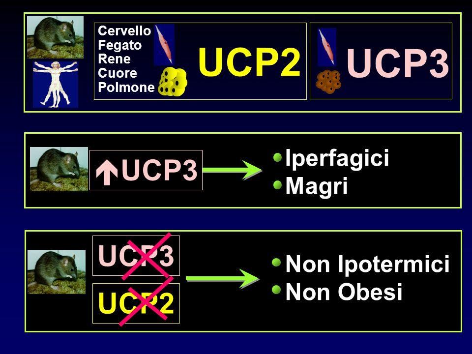 Cervello Fegato Rene Cuore Polmone UCP2UCP3 Iperfagici Magri UCP3 Non Ipotermici Non Obesi UCP2