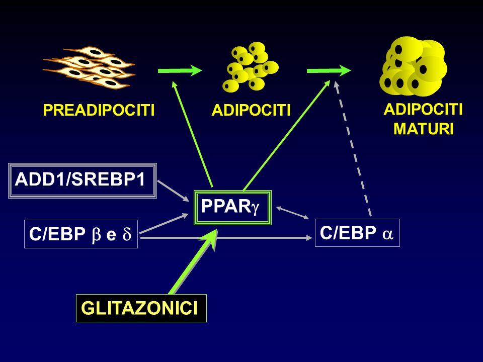 PPAR ADD1/SREBP1 C/EBP e C/EBP PREADIPOCITIADIPOCITI MATURI GLITAZONICI