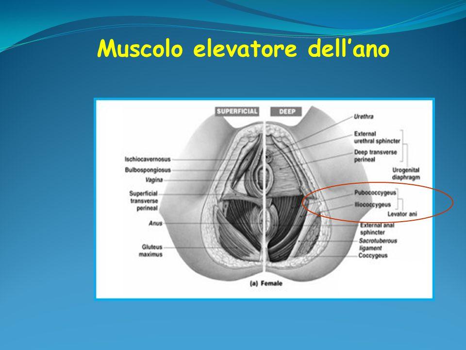 Ricopre il diaframma pelvico e gli organi pelvici con azione di supporto dellutero e del segmento vaginale superiore attraverso lunione allarco tendineo (parametrio e paracolpo) Si inspessisce a formare: legamenti cardinali ed utero-sacrali fascia pubo-cervicale fascia retto-vaginale Fascia endopelvica