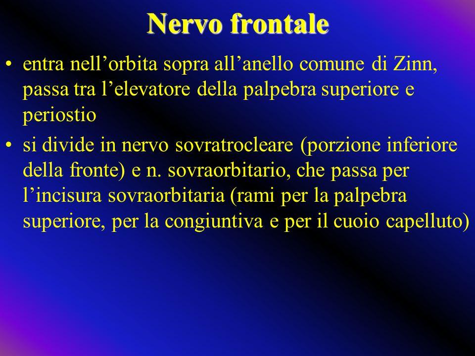 Nervo frontale entra nellorbita sopra allanello comune di Zinn, passa tra lelevatore della palpebra superiore e periostio si divide in nervo sovratrocleare (porzione inferiore della fronte) e n.