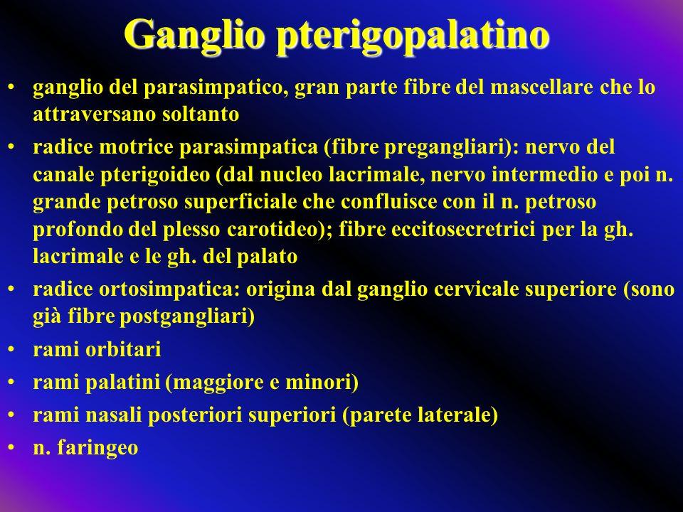 Ganglio pterigopalatino ganglio del parasimpatico, gran parte fibre del mascellare che lo attraversano soltanto radice motrice parasimpatica (fibre pregangliari): nervo del canale pterigoideo (dal nucleo lacrimale, nervo intermedio e poi n.