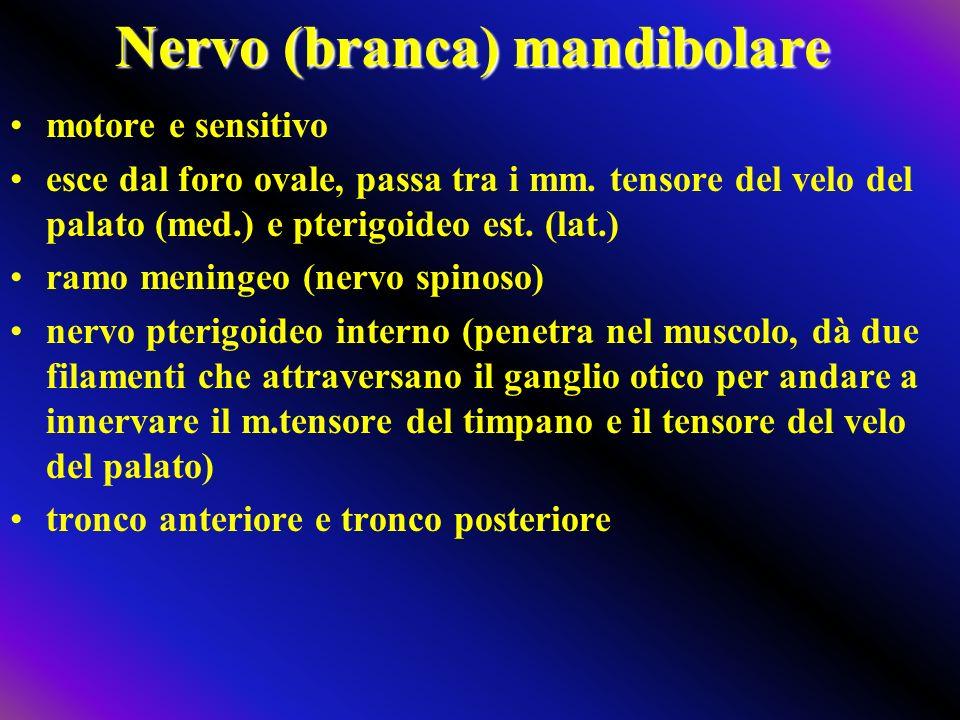Nervo (branca) mandibolare motore e sensitivo esce dal foro ovale, passa tra i mm. tensore del velo del palato (med.) e pterigoideo est. (lat.) ramo m