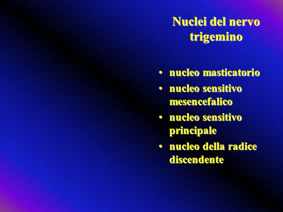 Nucleo sensitivo principale Nel ponte le sue fibre vanno al lemnisco trigeminale (per VPM del talamo controlaterale)