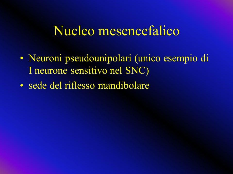 Nucleo mesencefalico Neuroni pseudounipolari (unico esempio di I neurone sensitivo nel SNC) sede del riflesso mandibolare