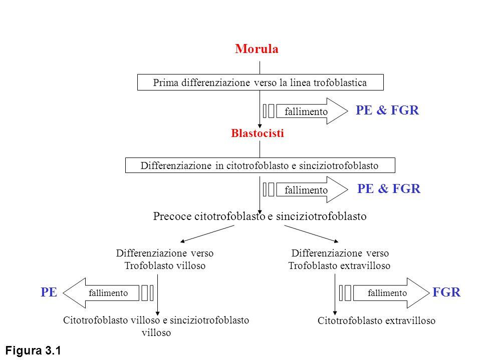Fattori intrinseci placentari Citotrofoblasto Villoso differenziazione inadeguataadeguata Aponecrosi/Necrosi STBM Effetti sistemici del materiale necrotico PREECLAMPSIA Apoptosi Syncytial Knots Eliminazione delle particelle apoptotiche a livello polmonare Gravidanza fisiologica Fattori estrinseci Aumento della massa/superficie Placentare: -diabete -gravidanza multipla -ipossia (anemia, elevate altitudini) aumentano Fattori materni Inadeguata risposta o rimozione materna Sovraccarico della rimozione apoptotica Secondaria necrosi delle particelle apoptotiche PREECLAMPSIA Sinciziotrofoblasto Villoso differenziazione adeguatainadeguata Figura 3.2