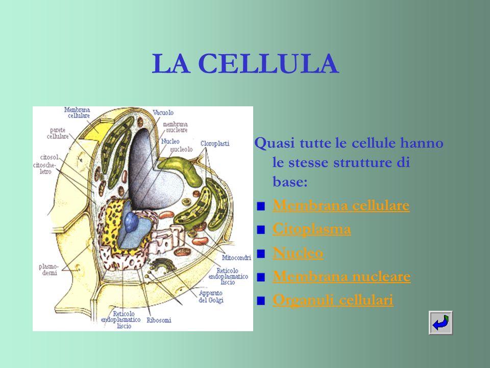 LA CELLULA Quasi tutte le cellule hanno le stesse strutture di base: Membrana cellulare Citoplasma Nucleo Membrana nucleare Organuli cellulari