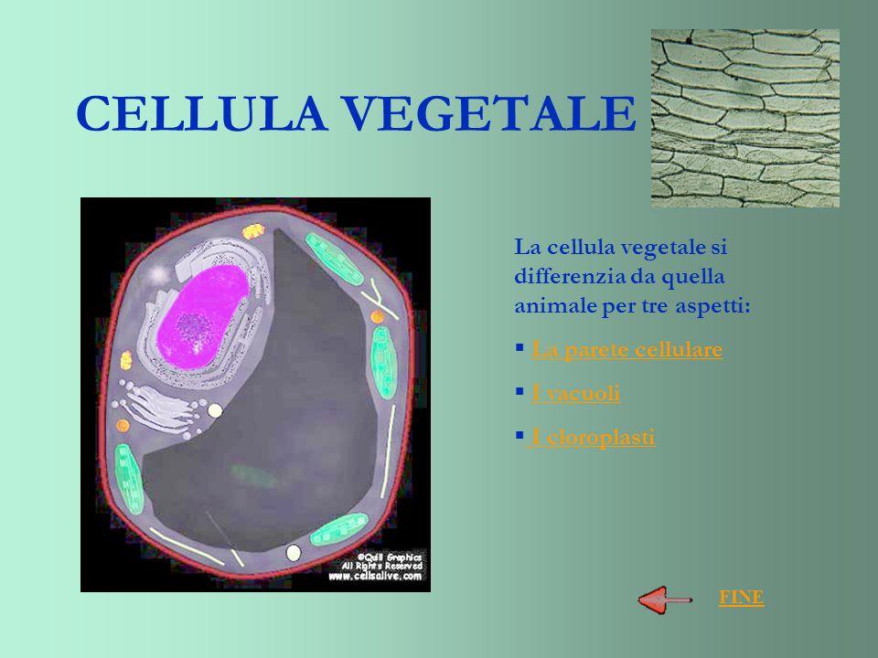 CELLULA VEGETALE La cellula vegetale si differenzia da quella animale per tre aspetti: La parete cellulare I vacuoli I cloroplasti FINE