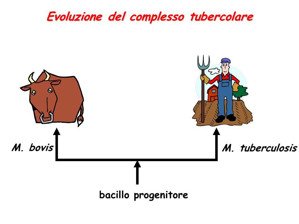 bacillo progenitore M. bovis M. tuberculosis Evoluzione del complesso tubercolare